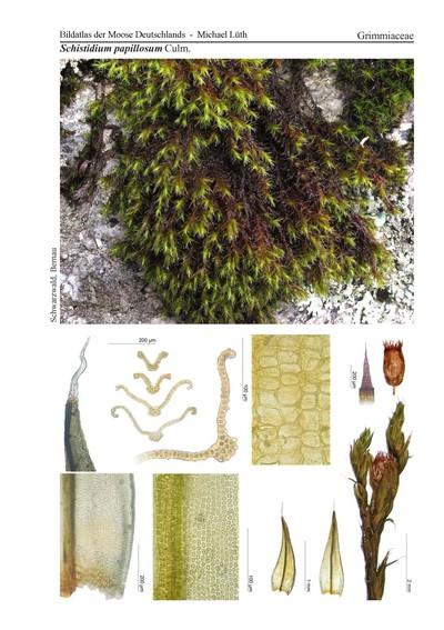 Schistidium papillosum