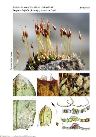 Stegonia latifolia