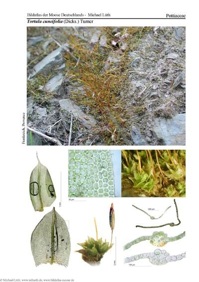 Tortula cuenifolia