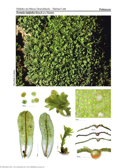 Tortula latifolia