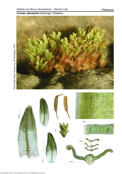 Tortula obtusifolia
