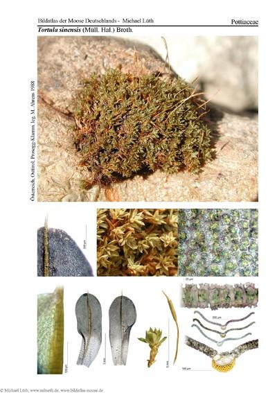 Tortula sinensis