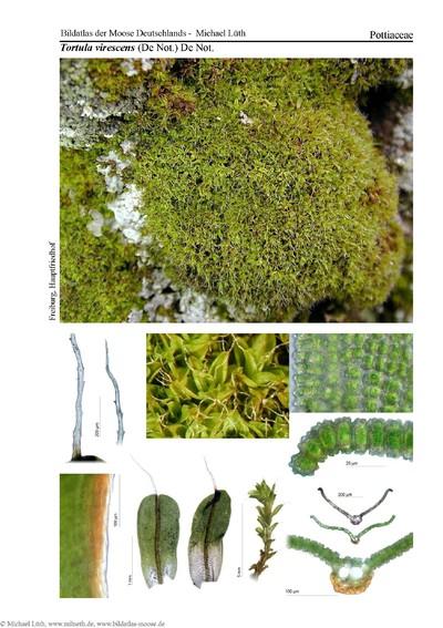 Tortula virescens