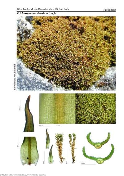 Trichostomum crispulum
