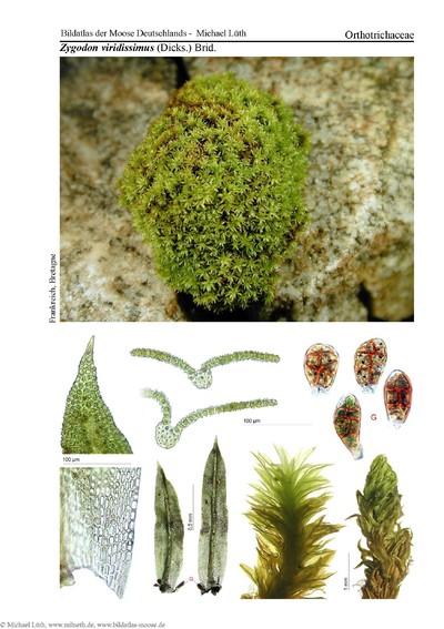 Zygodon viridissimus var. viridissimus