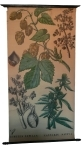 [Cannabinaceae]. Humulus lupulus, Cannabis sativa.
