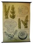 [Cupressasseae]. Conifères : Tige de J. Sabina L., Juniperus Sabina L., J. phoenicea L., J. Thurifera L., J. Communis L.