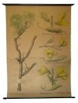 [Fabaceae]. Spartium junceum L., Cytisus labournum L., Sarothamnus scoparius Koch., Astragalus.
