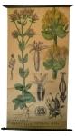 [Gentianaceae]. Erythraea centaurium, Gentiana lutea.