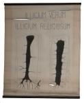 [Iliaceae]. [Magnoliacées]. Illicium verum et Illicium religiosum.