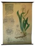 [Iridaceae]. Iridacées : Iris florentina L.