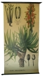 [Liliaceae]. Liliacées : Aloe soccotrina.