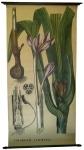 [Liliaceae]. Liliacées : Cochicum autumnale.
