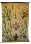 [Pinaceae]. Conifères : Pinus sylvestris L., Pinus halepensis Mill., Pinus montana, Pinus nigra.