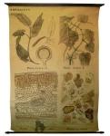 [Piperaceae]. Pipéracées : Piper cubeba L., Piper nigrum L., Poivre noir, Poudre de cubère.