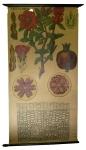 [Puniceae]. Punica granatum L.