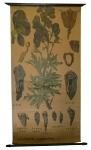 [Ranunculaceae]. Renonculacées. Aconitum napellus. Bish, Jalap, Chuen woo, Tsaou woo, Atées, Anthora, Napel.