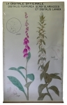 [Scrophulariaceae]. Scrophulariacées. La digitale officinale : Digitalis purpurea, Digitalis lanata.