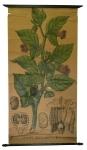 [Solanaceae]. Solanées. Atropa belladona L.