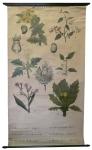 [Solanaceae]. Solanées. Solanacées : Hyoscynamus niger, Datura stramonium, Nicotiana tabacum, Solanum dulcamara, Solanum nigrum, Mandragora officinalis.