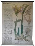 [Zingiberaceae]. Zingiberacées : Gingembre, Alpinia officinalis, Zédoaire, Maniguette, Zingiber officinale Roscoe.