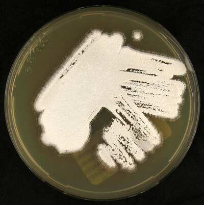Streptomyces albus (Rossi Doria 1891) Waksman and Henrici 1943 emend. Labeda et al. 2014