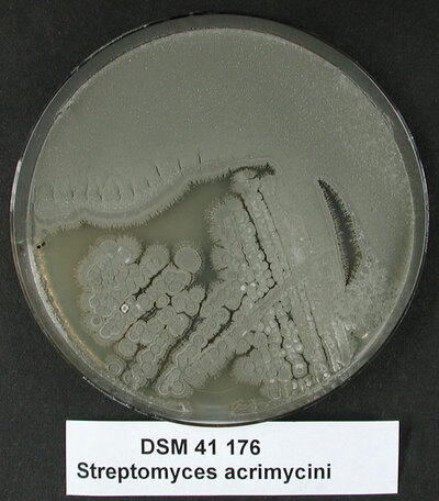 Streptomyces setonii (Millard and Burr 1926) Waksman 1953 emend. Kim et al. 2012