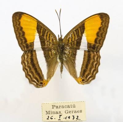 Pleštekė (Adelpha cytherea)