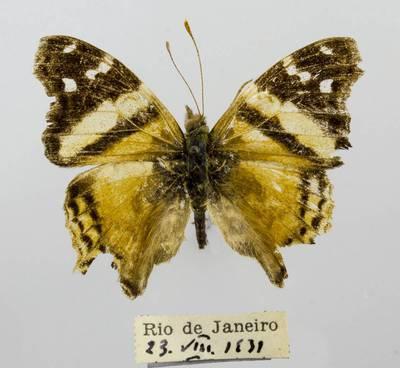 Pleštekė (Hypanartia bella)