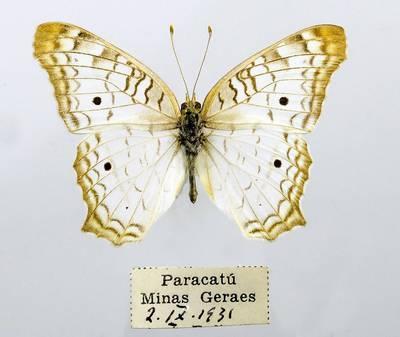 Pleštekė (Anartia jatrophae)