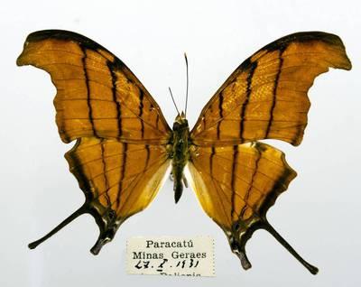 Pleštekė (Marpesia petreus)