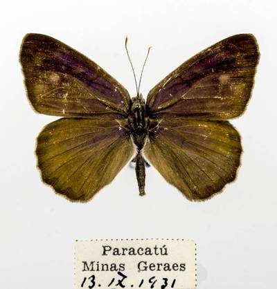 Pleštekė (Eunica monima)