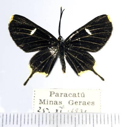 Margūnas (Barbicornis basilis)