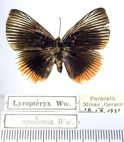 Margūnas (Lyropteryx apollonia)