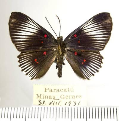 Margūnas (Lyropteryx terpsichore)