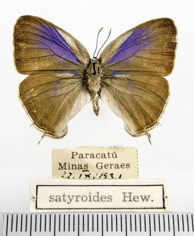 Melsvys (Evenus satyroides)