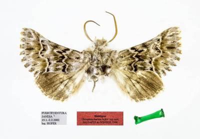 Cleonymia baetica hoferi