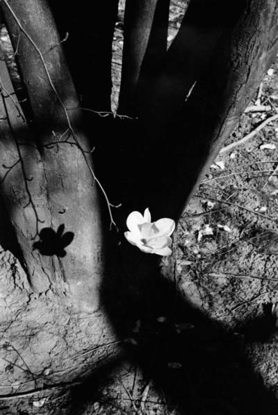 Algimantas Kezys. Magnolija. Vest Badeno šaltiniai. 1961