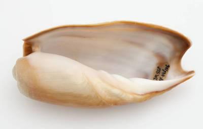 Cymbium cucumis (Röding, 1798)
