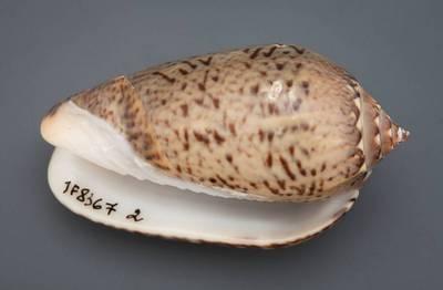 Americoliva polpasta (Duclos, 1833)