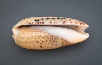 Oliva vidua (Röding, 1798)