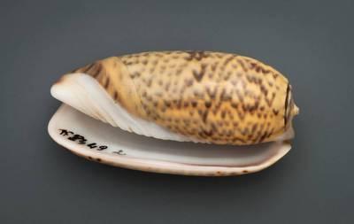 Oliva keenii (Marrat, 1870)