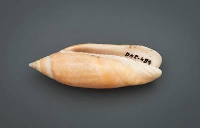 Agaronia acuminata (Lamarck, 1811)