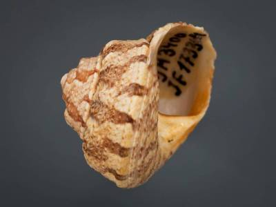 Gibbula magus (Linnaeus, 1758)