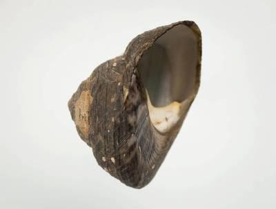 Omphalius rusticus (Gmelin, 1791)