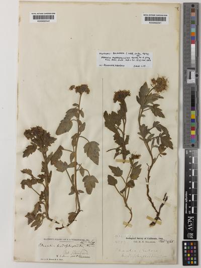 Phacelia hydrophylloides Torr. ex A.Gray