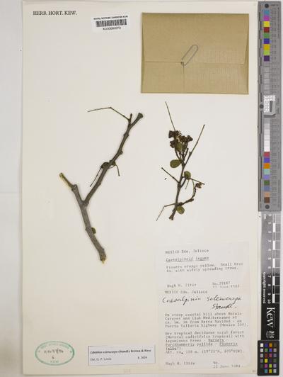 Libidibia sclerocarpa (Standl.) Britton & Rose