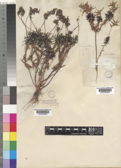 Stylidium fasciculatum R.Br.