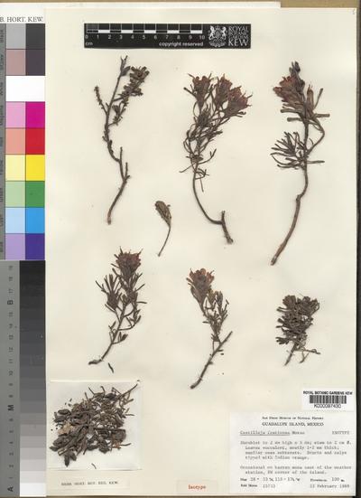 Castilleja fruticosa Moran