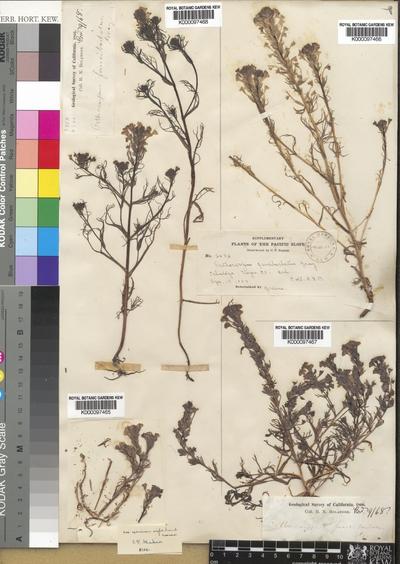 Triphysaria versicolor  subsp. faucibarbata (A.Gray) T.I.Chuang & Heckard
